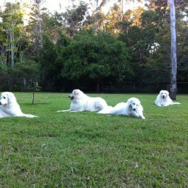 Rescued Maremma Family